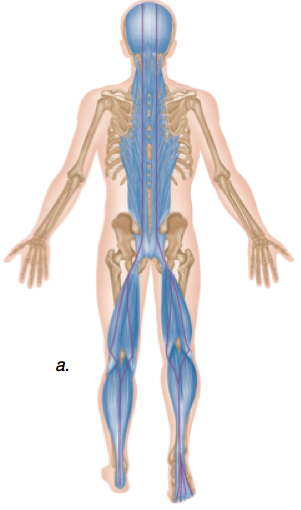 posterior chain